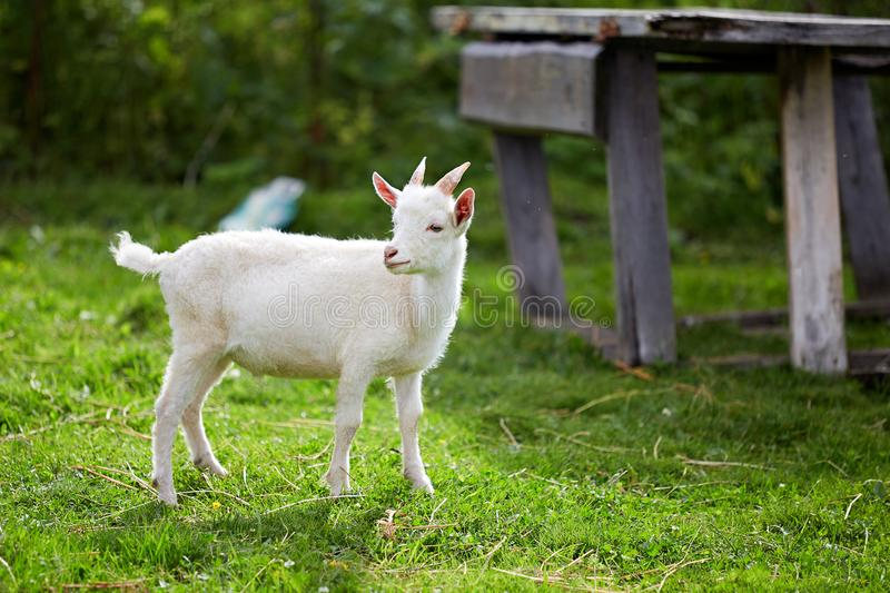 Beautiful white little goat on the grass stock image
