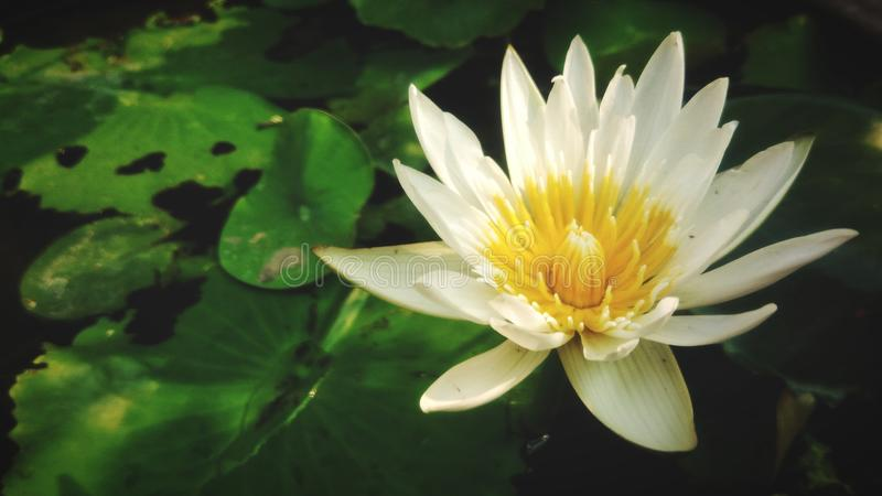 Beautiful of lotus flower. Beautiful white lotus flower in the canal stock photos