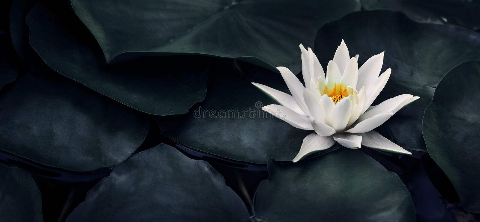 Beautiful white lotus flower closeup. Exotic water lily flower on dark green leaves. Fine art minimal concept nature background stock photo
