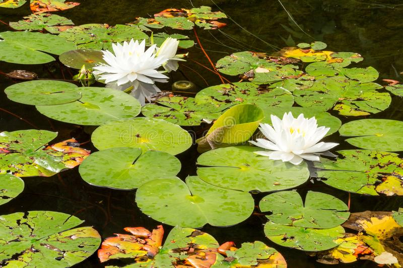 The beautiful white lotus flowers or water lilies in the pond on. The sunny summer day. High depth of field stock images