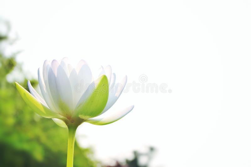 Beautiful white lotus, On a white sky background royalty free stock photo