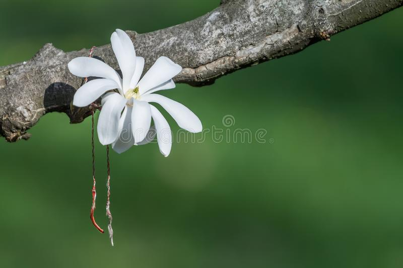 Beautiful white magnolia flower on a branch stock photography