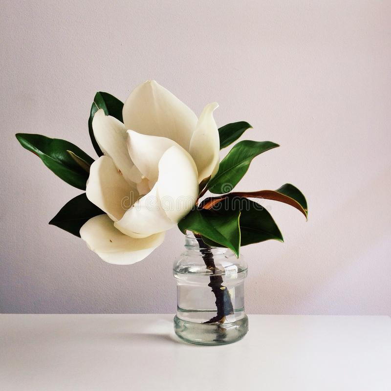 Beautiful white magnolia flower in full bloom in vase, close up, white background. Floral still life. Beautiful white magnolia flower with green leaves in full stock photo