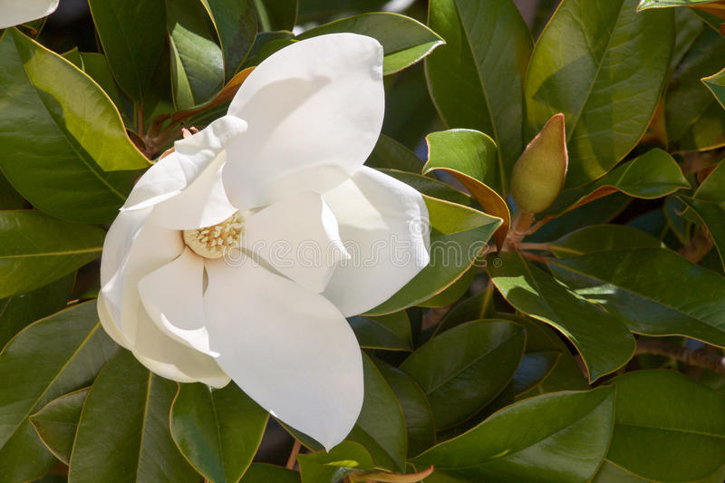 Beautiful white magnolia flower with green leaves. Beautiful white magnolia flower in summer with green leaves as background royalty free stock photo