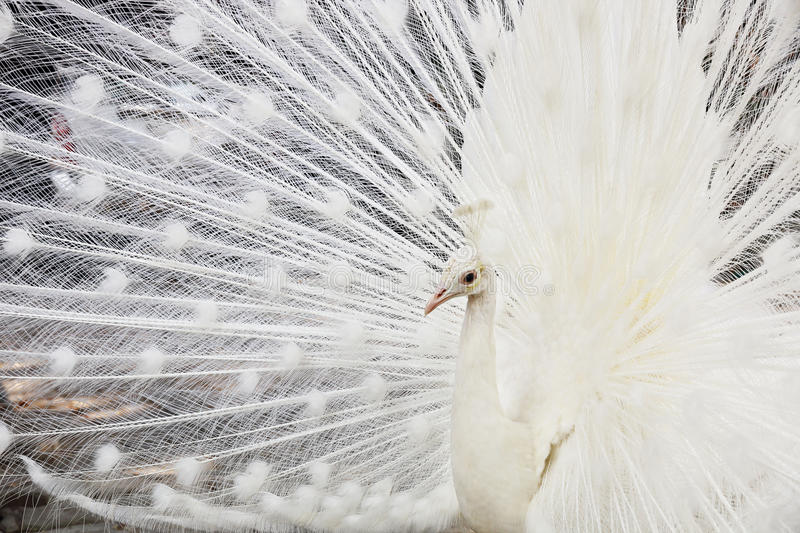 Beautiful white male peacock spreads tail feathers. It is beautiful white male peacock spreads tail feathers stock photo