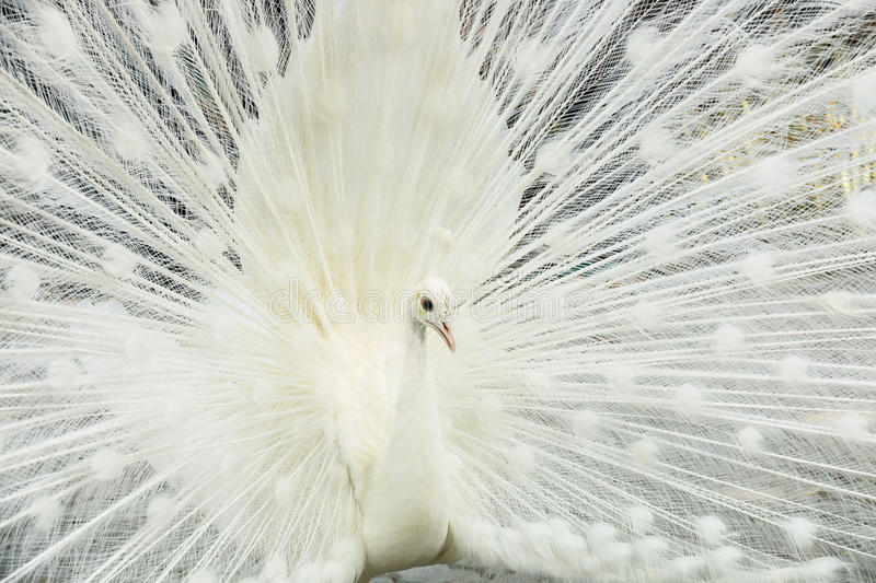 Beautiful white male peacock spreads tail feathers. It is beautiful white male peacock spreads tail feathers royalty free stock photo