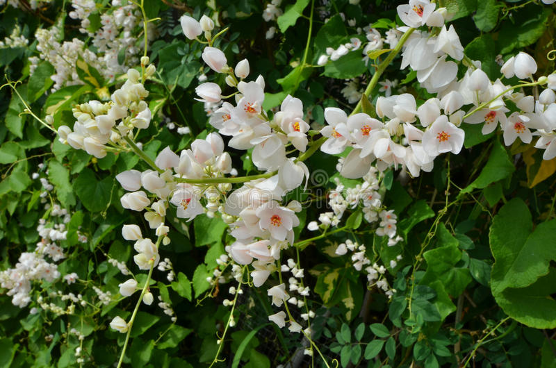 Beautiful white mexican creeper flowers stock image image of download beautiful white mexican creeper flowers stock image image of creeper bloom 99183057 mightylinksfo