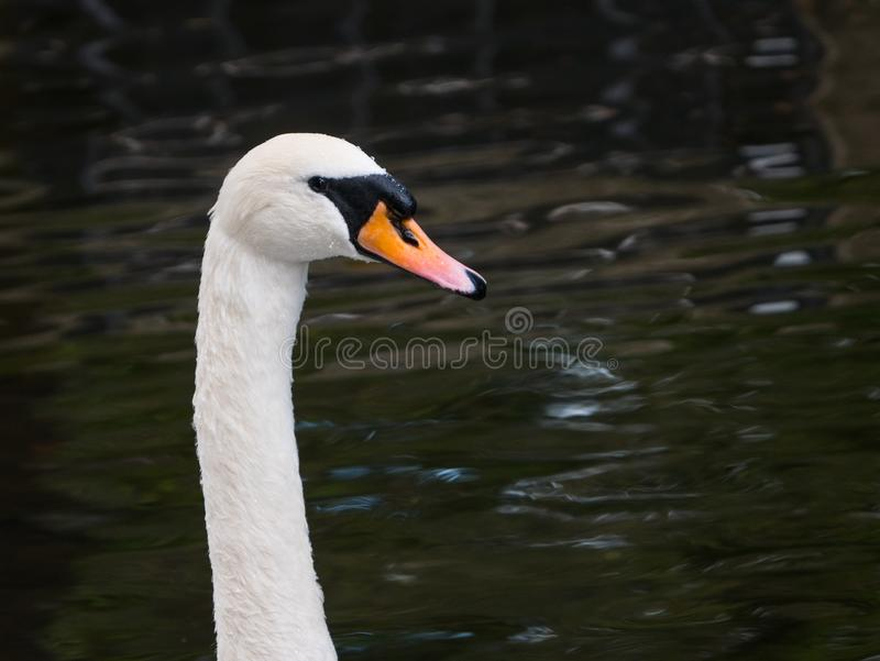 Beautiful white Mute swan / Cygnus olor portrait against a dark water background. Beautiful white Mute swan / Cygnus olor portrait. Head and neck against a dark royalty free stock photo