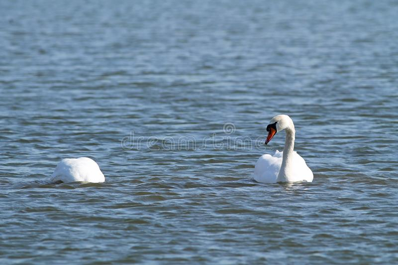 Mute swans. Beautiful white mute swan Cygnus olor swimming on the water and other one diving for food royalty free stock photos