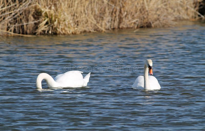 Mute swans. Beautiful white mute swan Cygnus olor swimming on the water and other one diving for food royalty free stock photography