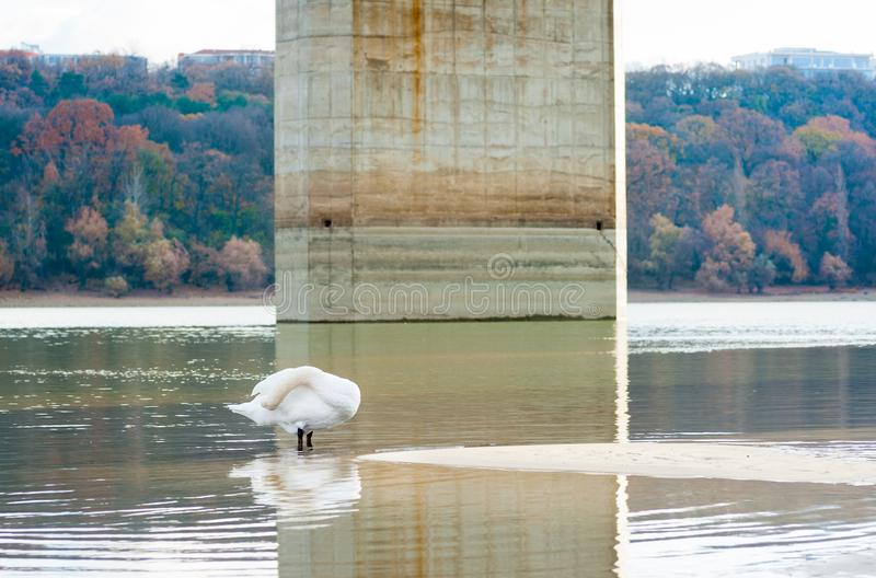 Beautiful white mute swan in the nature cleaning his feathers standing in the water of Danube river with his head under his wing w. Ith autumn color on the trees royalty free stock photography
