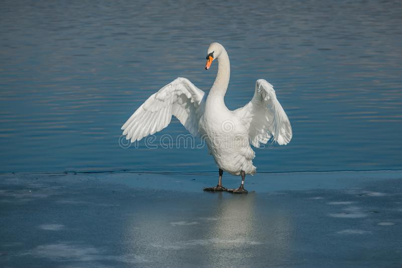 Beautiful white mute swan stretching her wings. Beautiful white mute swan with orange beak standing on frozen lake stretching her wings, sunny winter day, water stock photos