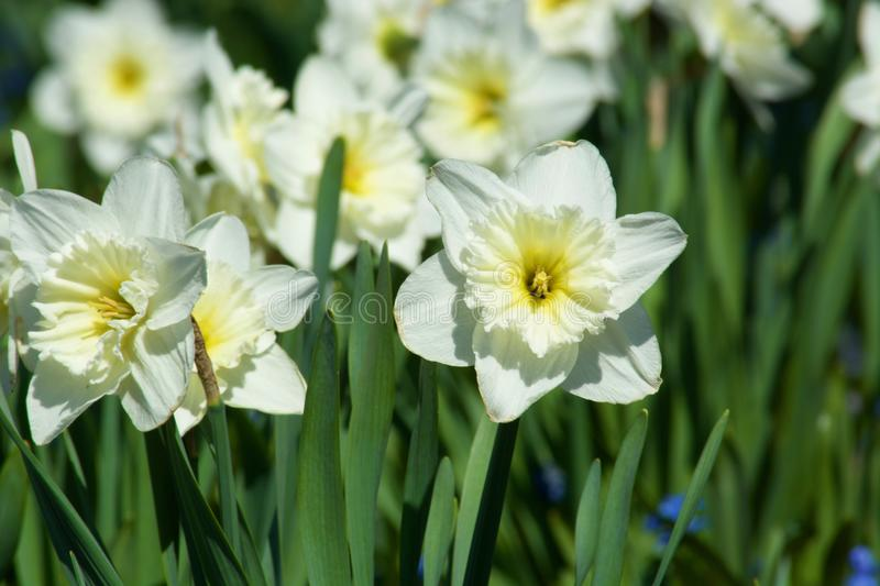 Beautiful white narcissus flowers. Spring royalty free stock photo