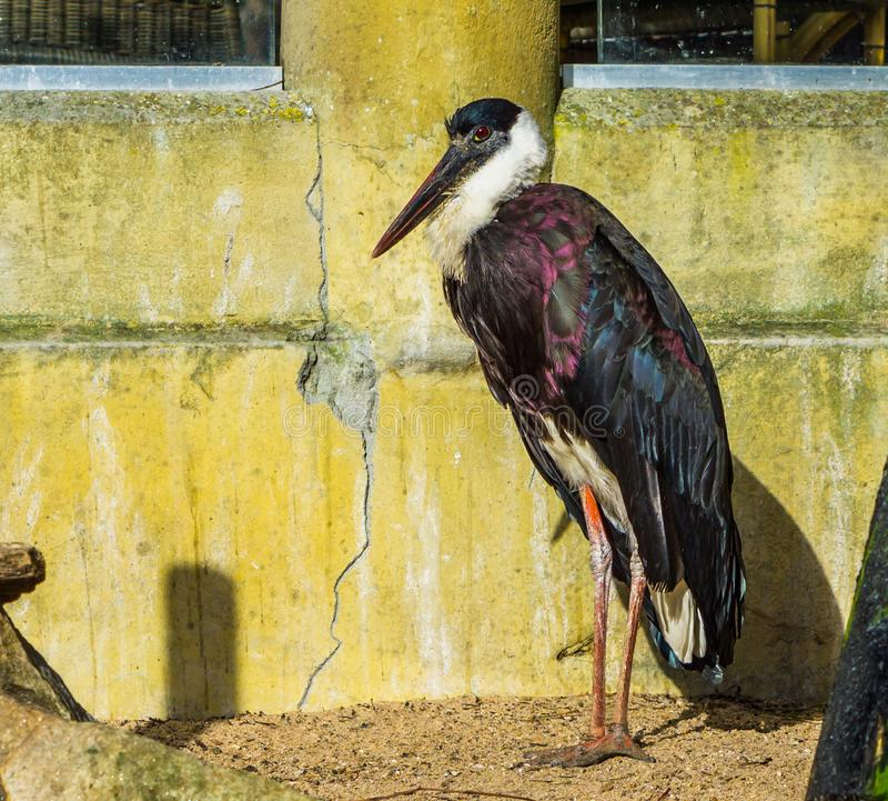 Beautiful white necked stork, threatened tropical bird with vulnerable status from Africa stock photo