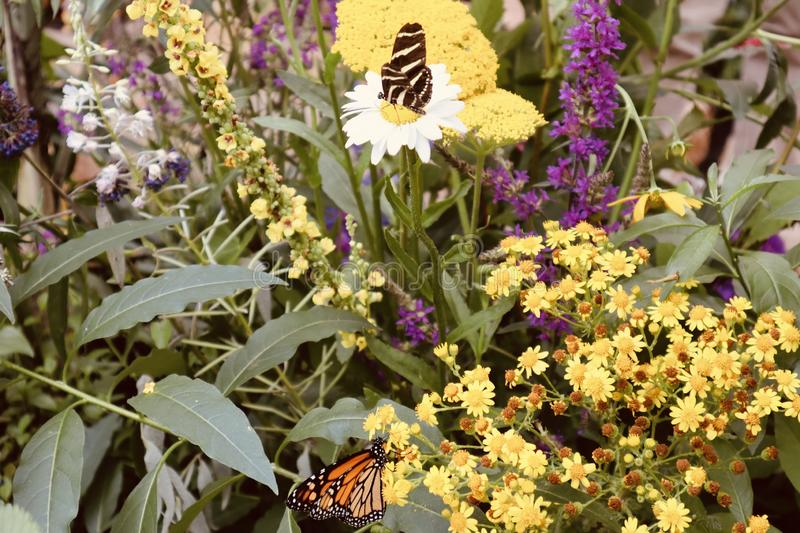 Beautiful white orange red and black butterfly on yellow flower purple close up background stock photo