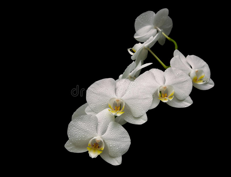 Beautiful white orchid branch isolated on black background close royalty free stock image