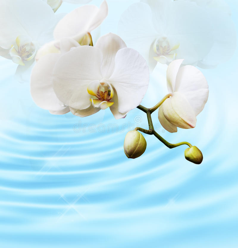 Beautiful white orchid royalty free stock image