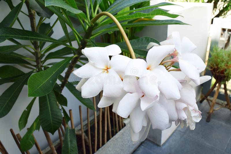 Beautiful white  Orchid flowers at home garden. Beautiful white royalty free stock photo