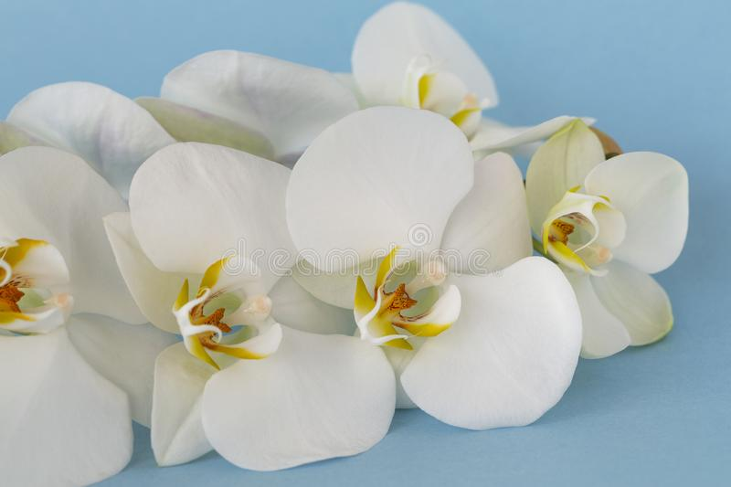 Beautiful White orchid flowers on pastel blue background. A tender white orchid Phalaenopsis. Space for a text, flat lay. stock images