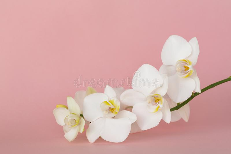 Beautiful White orchid flowers on pastel pink background. A tender white orchid Phalaenopsis. Space for a text stock images