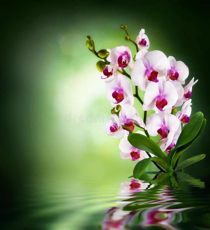 Beautiful white orchid - green dark background stock photo