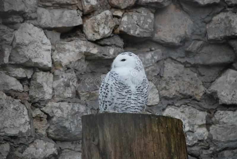 Beautiful white owl in the Moscow zoo stock photos