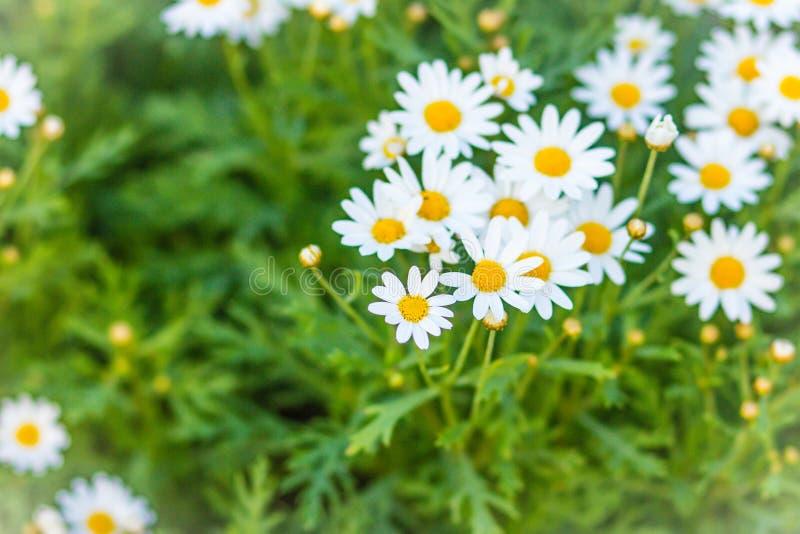 Beautiful white ox-eye daisy flowers (Leucanthemum vulgare) on flowerbed. Leucanthemum vulgare, the ox-eye daisy, or oxeye daisy, royalty free stock images