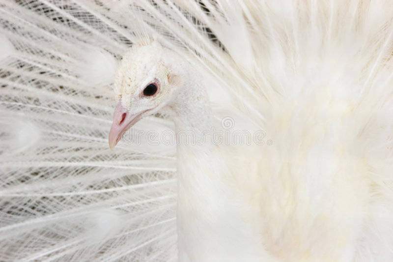 Beautiful white peacock royalty free stock image