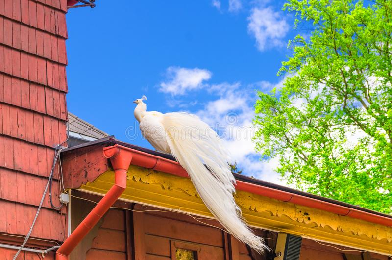 Beautiful white peacock bird carrying long tail on the roof of wooden building royalty free stock image