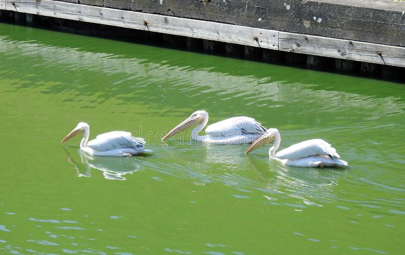 White pelican birds near Klaipeda museum, Lithuania. Beautiful white pelican birds floating on green water , can use as background royalty free stock photos