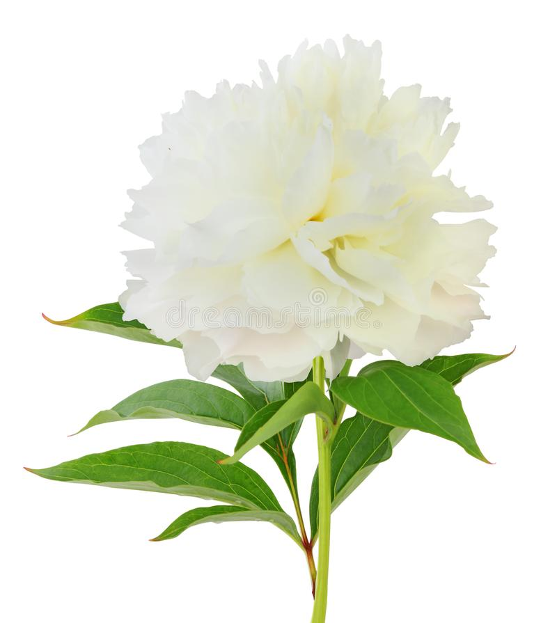 Free Beautiful White Peony Pfingstrose, Shirley Temple Isolated On White Background, Including Clipping Path. Stock Photography - 115932622
