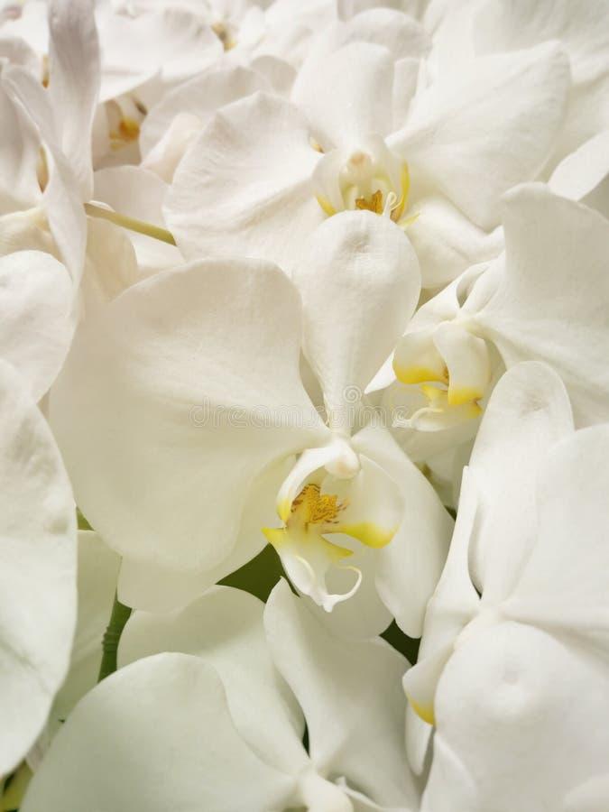 Beautiful white Phalaenopsis orchid flowers royalty free stock image