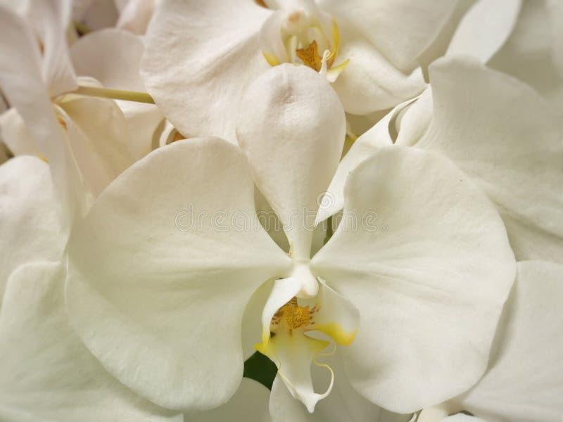 Beautiful white Phalaenopsis orchid flowers stock images