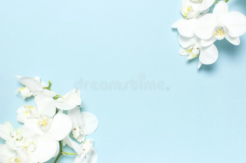 Beautiful White Phalaenopsis orchid flowers on pastel blue background top view flat lay. Tropical flower, branch of orchid close royalty free stock photography