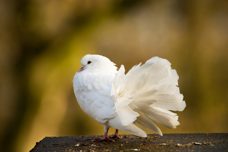 Beautiful white pigeon royalty free stock photo