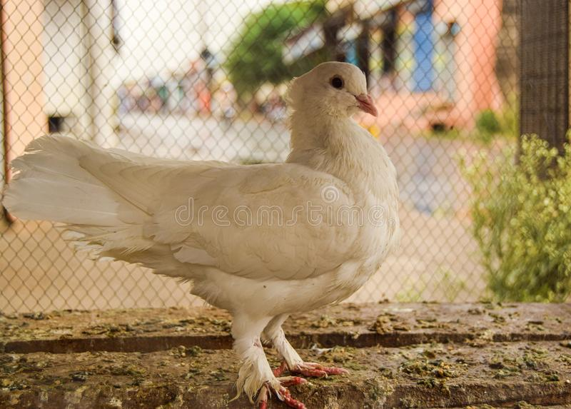 Beautiful White Cute Pigeon Queen Love Birds. Want prince stock image