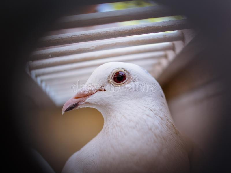 Beautiful White pigeons in cage, doves for wedding in captivity, close up, bird view. Cage fence in focus stock photography