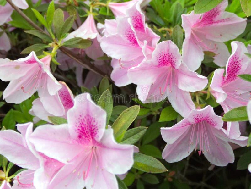 Beautiful White and Pink Azaleas royalty free stock photography