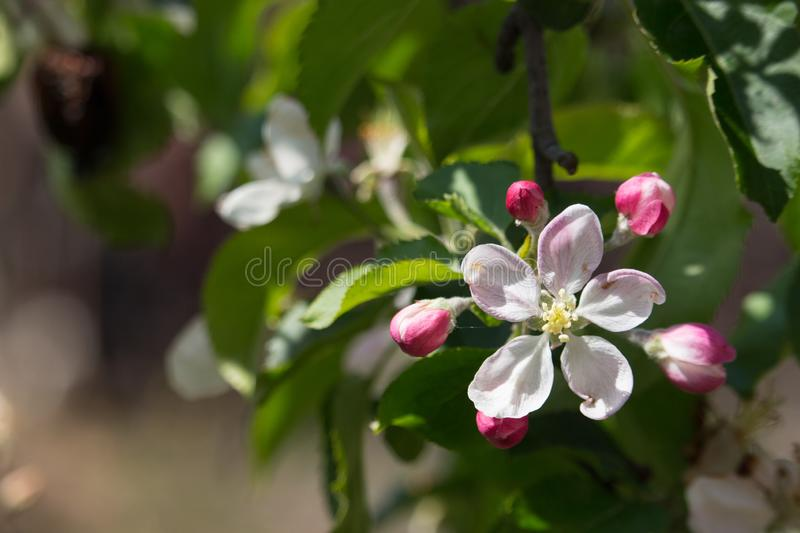 Beautiful white and pink flowers on apple tree branch. Bloomimg apple tree in spring garden. Blossom and gardening concept. stock photo