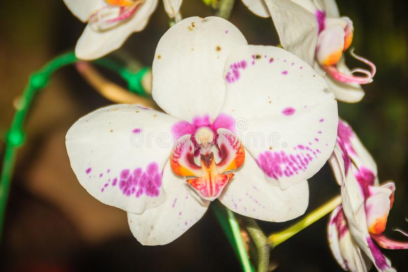 Beautiful white-pink-orange dots hybrid moth orchid (Phalaenopsis) flower in the farm. Phalaenopsis is one of the most popular or royalty free stock photography