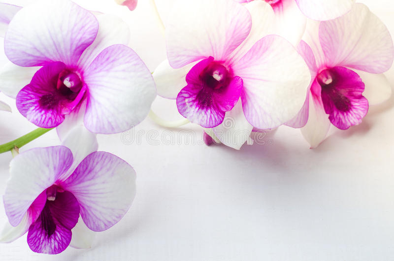 Beautiful white with pink orchid on white wooden background stock image