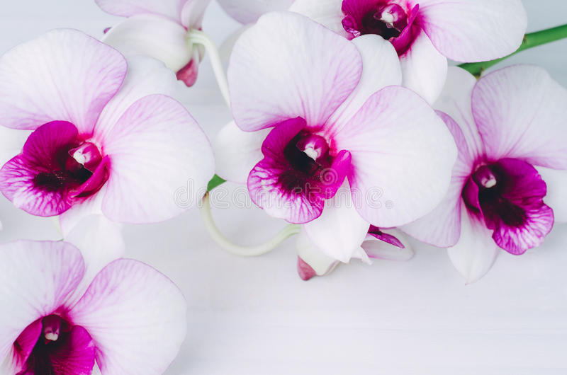 Beautiful white with pink orchid on white wooden background royalty free stock photography