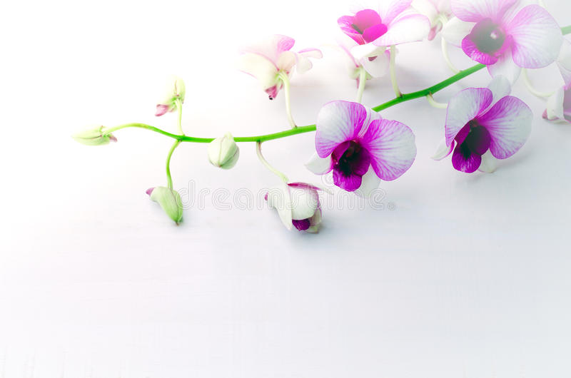 Beautiful white with pink orchid on white wooden background royalty free stock image