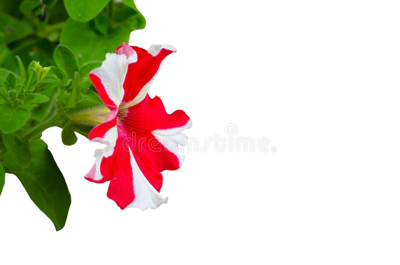 White-pink petunia flower with its green leaves isolated on white background. stock photos