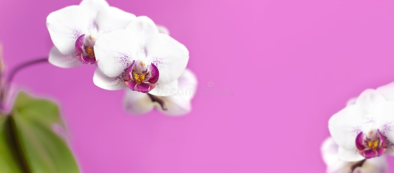 Beautiful White with pink Phalaenopsis orchid flowers on bright pink background. Tropical flower, branch of orchid close up. Pink stock photography