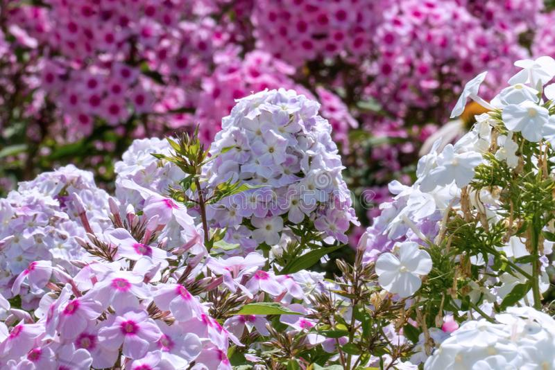 Beautiful white and pink phloxes in full bloom  in a summer garden royalty free stock photography