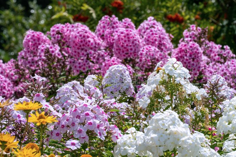Beautiful white and pink phloxes in full bloom  in a summer garden stock photography