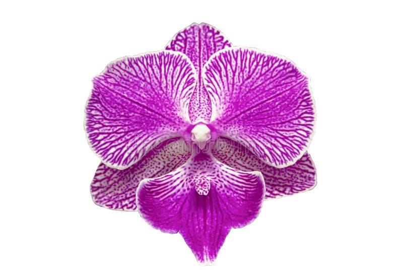 Beautiful white pink purple orchid phalaenopsis Big Lip single flower isolated on white background stock photo