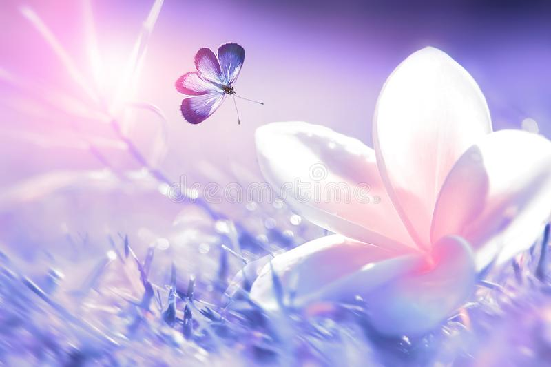Beautiful white and pink tropical flower and purple butterfly in flight on a background of purple grass in drops of water. Blurre. D background. Plumeria alba royalty free stock photo