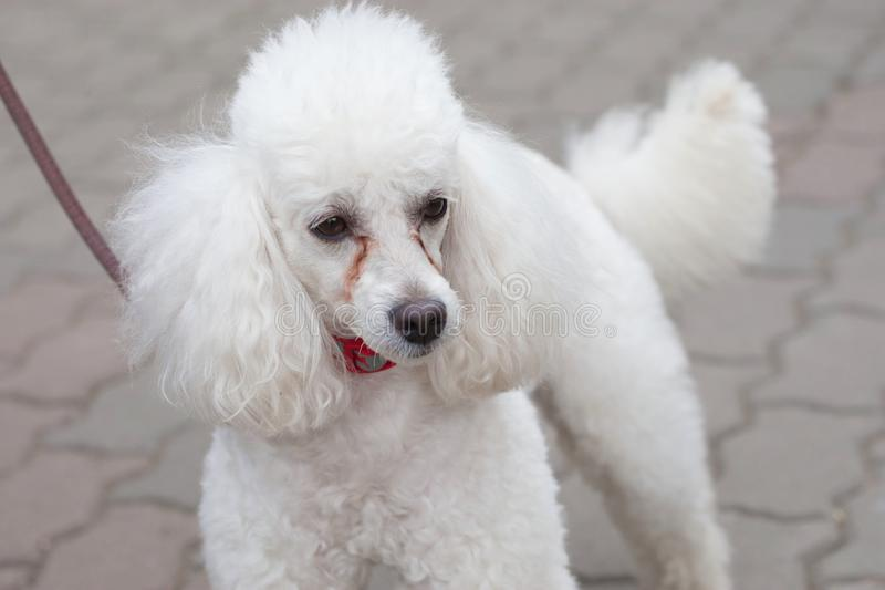 A beautiful white poodle stares intently to the side royalty free stock photos